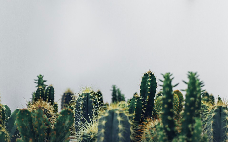 Как развести кактусы